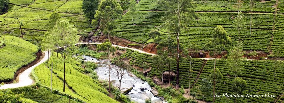 Plantacja herbaty na Sri Lanka