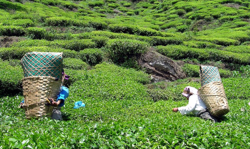 Darjeeling wyprawy glob net herbata